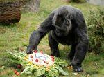 Fancy! Gaya Gorila Rayakan Ulang Tahun Ke-10