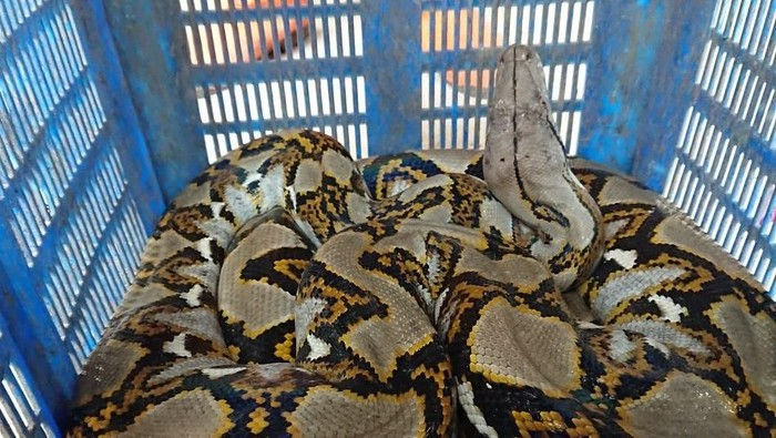 Petugas UPK Badan Air temukan ular sanca sepanjang 4 meter di KBT kawasan Duren Sawit