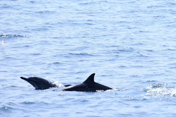 Biasanya lumba-lumba bakal muncul di permukaan perairan pada pukul 06.30 sampai 07.00 WIB, bahkan jika beruntung ada yang bisa melihat pukul 09.00 WIB. (Mercy Raya/detikTravel)