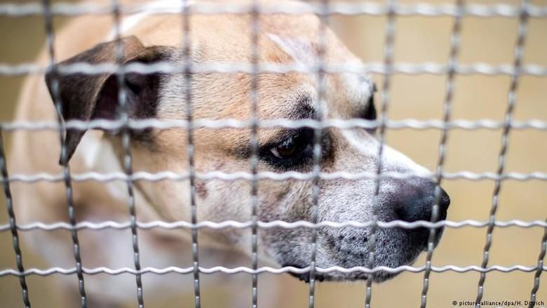 Kisah Chico, Anjing Jerman yang Harus Disuntik Mati