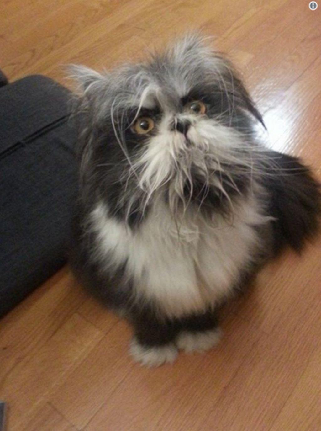 Jawabannya adalah Kucing, kucing bernama Atchoum ini menjadi viralkarena sebuah sindrom langka yang dimilikinya, sehingga tampak seperti anjing. (Foto: Internet)