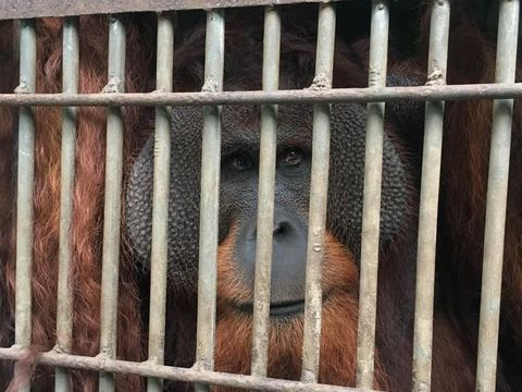 BKSDA DKI Kirim Orangutan dan Beruang ke Kalteng untuk Dikarantina