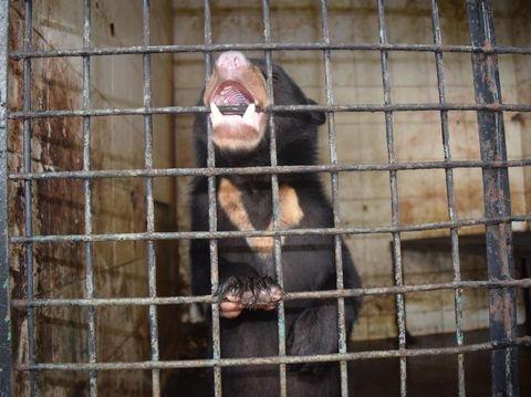 Beruang madu bernama Baddy