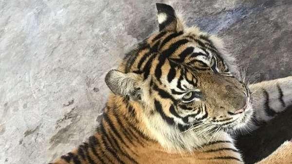 Fakta-fakta Harimau Bonita: Idap Tumor Hingga Obesitas