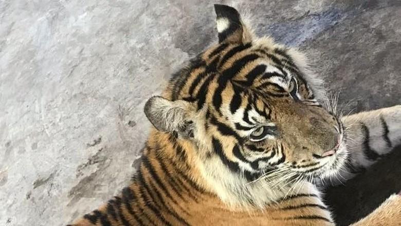 Bukan Mitos, Ternyata Harimau Bisa Simpan Dendam ke Manusia