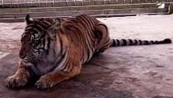 Bonita yang Gegerkan Ahli Harimau Dunia