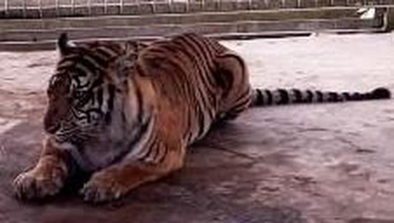 Harimau Liar Serang 4 Sapi Milik Warga Riau