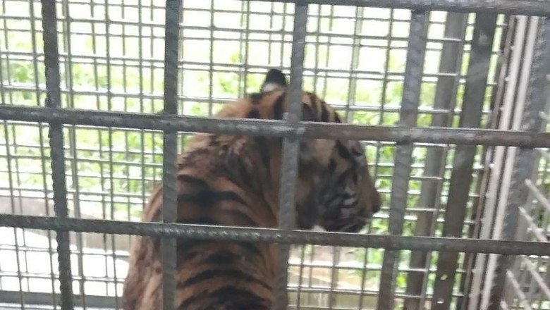 Penampakan Harimau Bonita di Dalam Kandang
