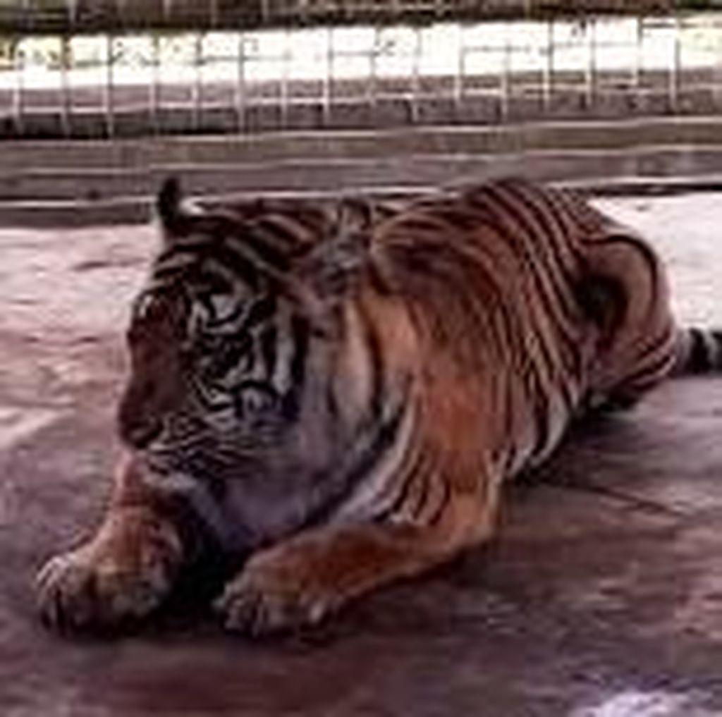 Masuk Kampung di Riau, Harimau Makan Sapi dan Kambing