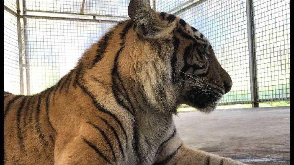 BKSDA Duga Kalung GPS Harimau Bonita Lepas, Pergerakannya Tak Terpantau