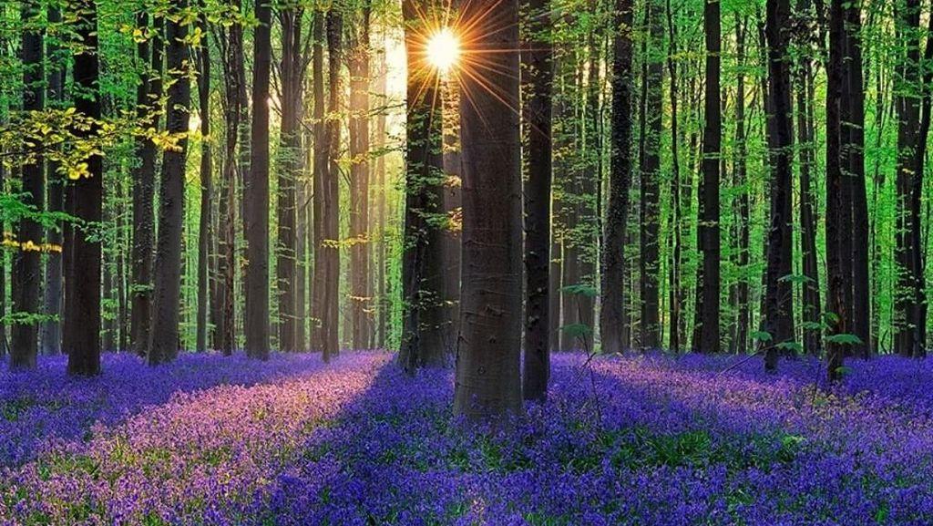 Foto: Hutan Biru Aneh Tapi Nyata di Belgia