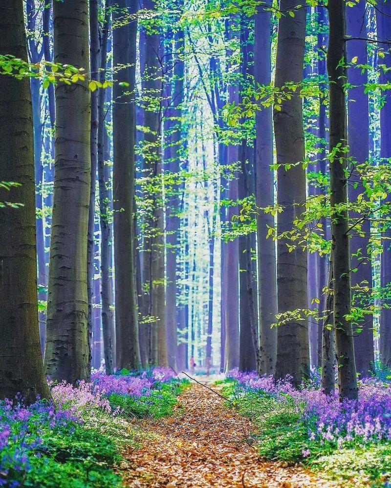 Hutan ini bernama Hutan Hallerbos atau dikenal dengan The Blue Forest. Hutan ini berada di Halle, Belgia. (manuereynolds/Instagram)