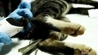 Kucing jantan dikebiri karena, saat musim kawin, mereka dapat mengawini kucing betina sampai 10 ekor dalam sehari.