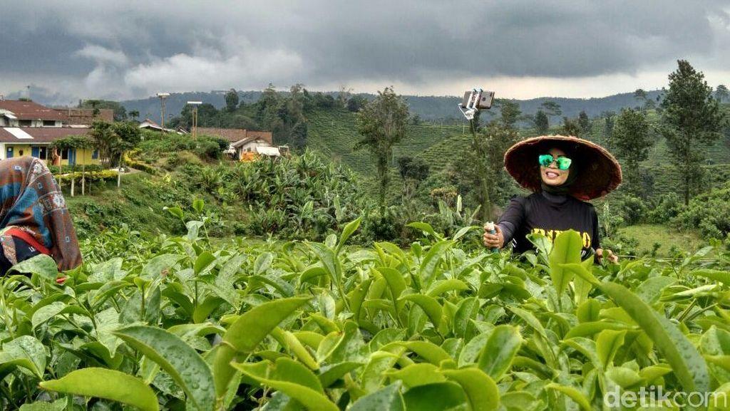 Eh Ada Kebun Teh Baru di Lereng Gunung Gambir Probolinggo!