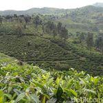 Sariwangi Pailit, Bagaimana Kabar Industri Teh Tanah Air?