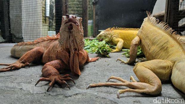 25+ Hewan iguana terbesar terbaru