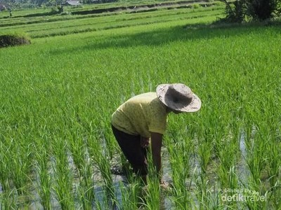 Di Ubud, Cukup Mengelilingi Sawah di Sekitar Vila Sudah Asyik