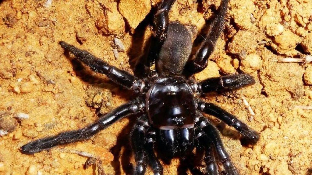 Laba-laba Tertua di Dunia Mati