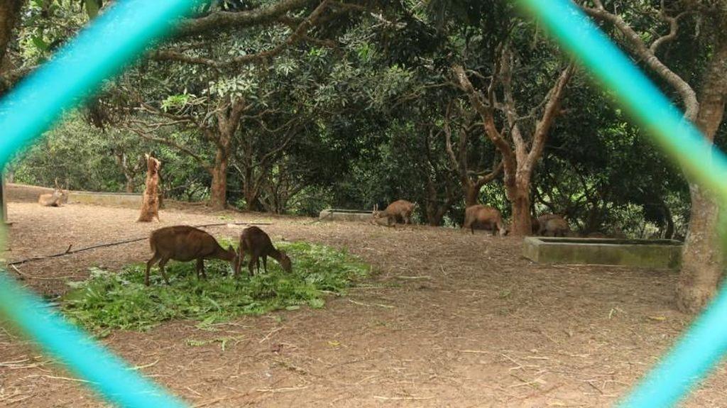 Penangkaran Rusa yang Hanya Ada di Pulau Bawean