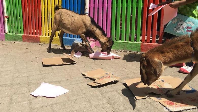 Kambing yang makan kertas dan kardus di Pulau Bungin (Aji Surya/detikTravel)