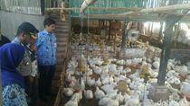 Ayam Broiler Langka di Probolinggo, Satgas Pangan Sidak Distributor
