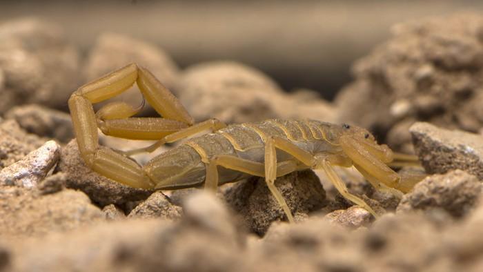 Racun kalajengking dari genus Centruroides dikembangkan untuk jadi obat penawar. Beberapa peneliti bahkan menggunakan racun kalajengkin ini untuk obat jantung. (Foto: Thinkstock)