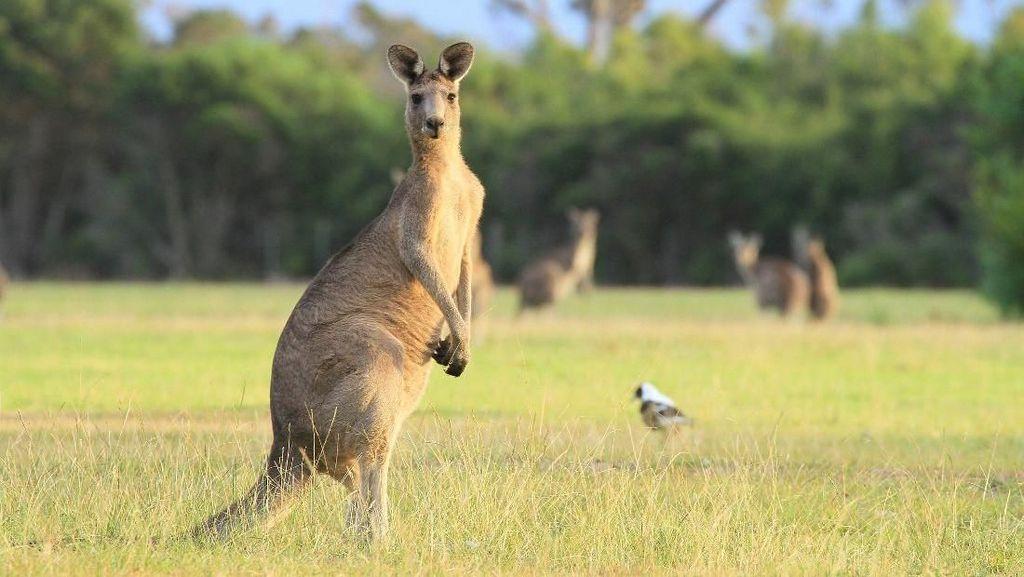 Gara-gara Wortel, Banyak Turis Diserang Kanguru