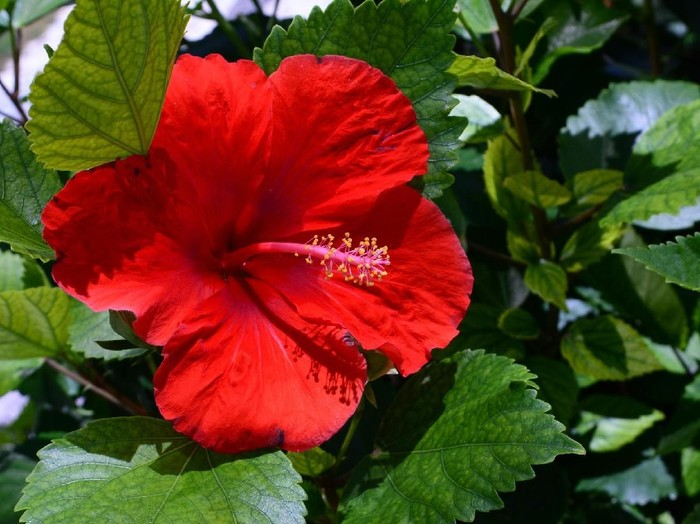 hibiscus essential oil with fresh flower - beauty treatment