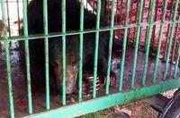 Sang beruang yang sedang terluka dikurung