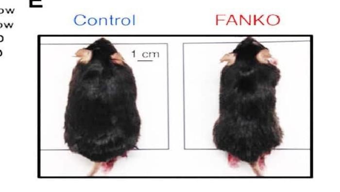 Tikus di sebelah kanan tidak memiliki enzim NAMPT sehingga tidak gemuk meski banyak makan lemak (healthsciences.ku.dk)