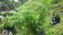 Jalan Licin, Begini Sulitnya ke Lokasi 6 Hektare Ganja di Aceh