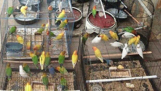 Kisah Lovebird: Burung Primadona yang Sampai Jadi Mas Kawin
