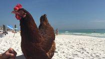 Foto: Sammi, Si Ayam yang Suka ke Pantai