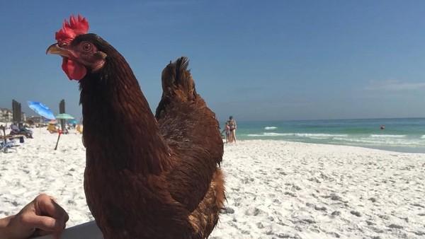 Namanya Sammi, dia seekor ayam betina berumur 1 tahun dan suka traveling. (sammichicken/Instagram)