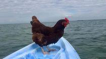 Sammi, Si Ayam yang Suka ke Pantai
