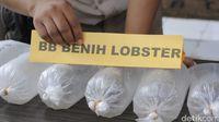 Si 'Kapal' Selundupkan Benih Lobster Senilai Rp 2,8 Miliar