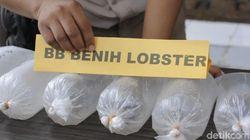 Terniat! Penyelundupan Ekspor Benih Lobster Dibungkus Kangkung