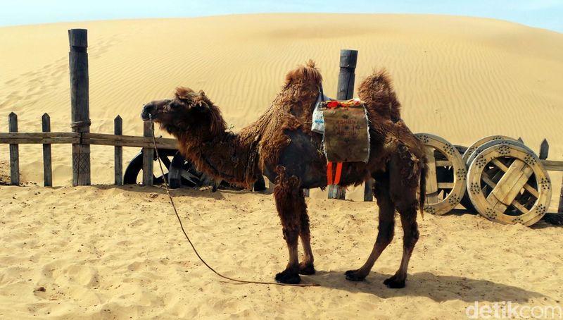 Inilah Gurun Pasir Xiangshawan di Inner Mongolia, China. Di gurun ini, traveler bisa berwisata keliling gurun pasir naik unta seperti di Arab Saudi. (Wahyu/detikTravel)