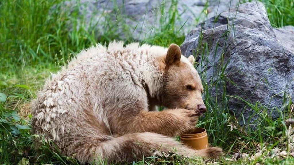 Waduh! Beruang Hitam Ini Hancurkan Kaca Mobil untuk Makan 2 Lusin Cupcakes