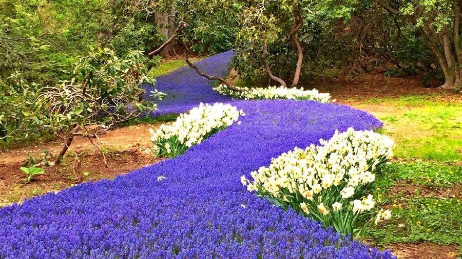 Sebanyak 35 ribu bunga bulb berwarna ungu bermekaran di Heritage Museums & Gardens. (Heritage Museums & Gardens/Instagram)