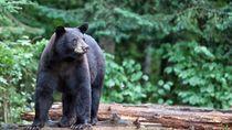 Pulang Liburan Bawa Anak Anjing, Besarnya Jadi Beruang