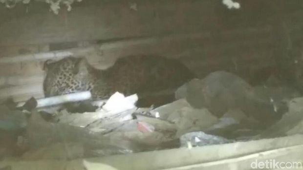 Macan itu ada di kolong rumah setelah memangsa 2 ekor ayam