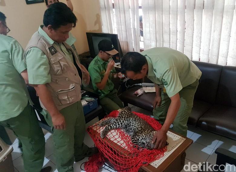 14 Jam Ngumpet, Macan Tutul Pingsan Diterjang Peluru Bius