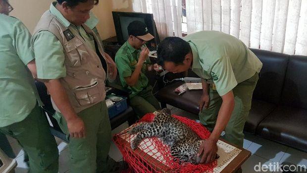Petugas mengevakuasi macan itu setelah ditembak bius