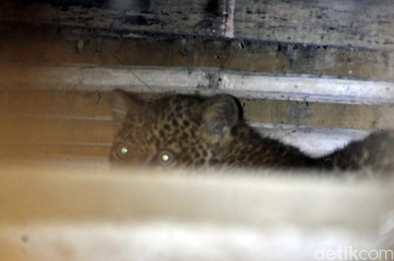 Penampakan Macan Tutul Ngumpet di Kolong Rumah Warga Sukabumi