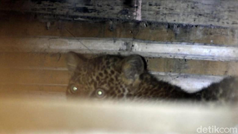 Horor Macan Tutul Ngumpet di Kolong Rumah