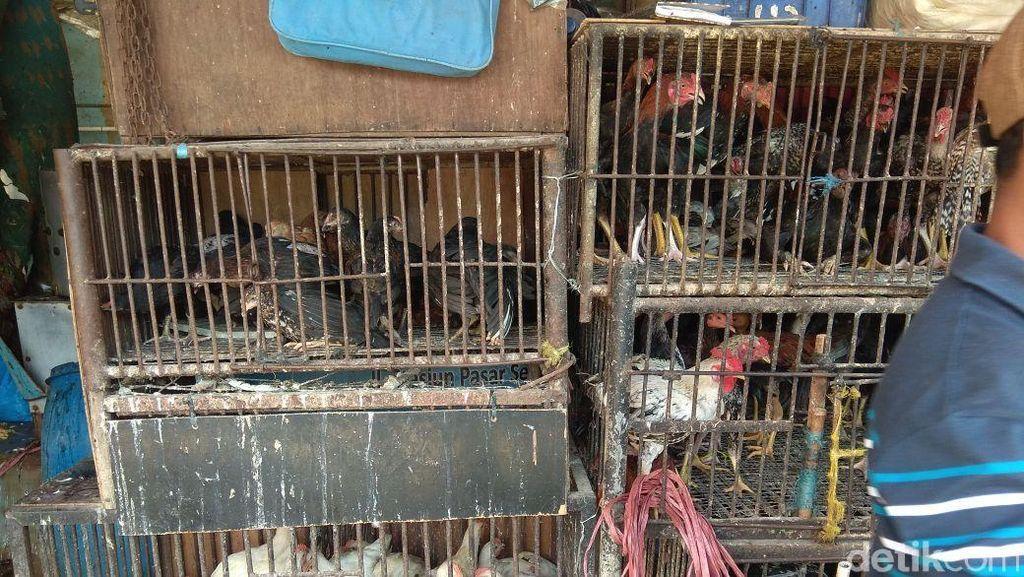 Harga Ayam Kampung Tembus Rp 90.000/Ekor, Ini Kata Peternak