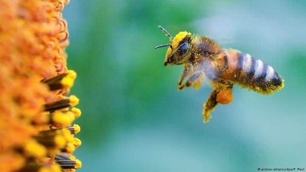 Robot Mata-Mata di Sarang Lebah Lebah Bantu Pencegahan Kepunahan Penyerbuk Berguna