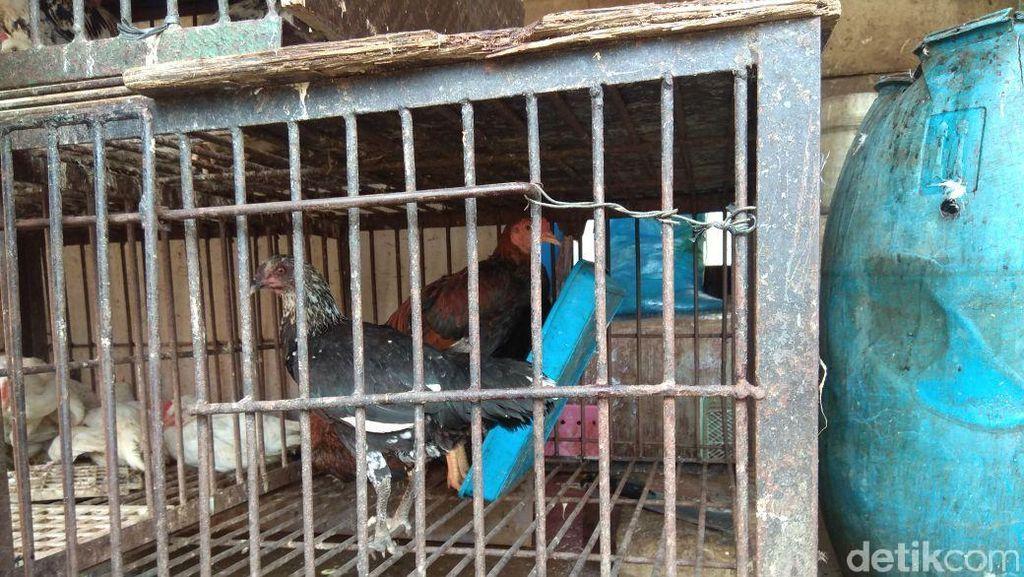 Harga Ayam Kampung Naik, Pedagang: Yang Biasa Beli 5 Jadi 2