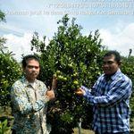 Transformasi Garut Jadi Produsen Jeruk di Indonesia